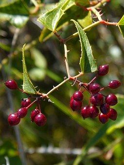 Sarsaparilla, Berry, Skewers, Thorns, Plant Wildlife