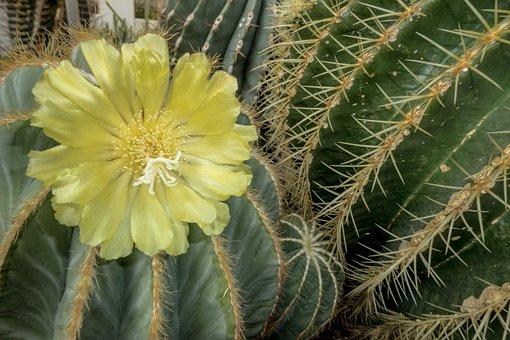 Flower, Cactus, Nature, Plant, Thorns, Desert, Stem