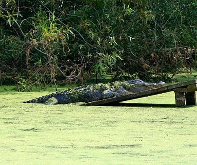 Alligator, Gator, Swamp, 4 2 Meters, Sleeping, Sunning
