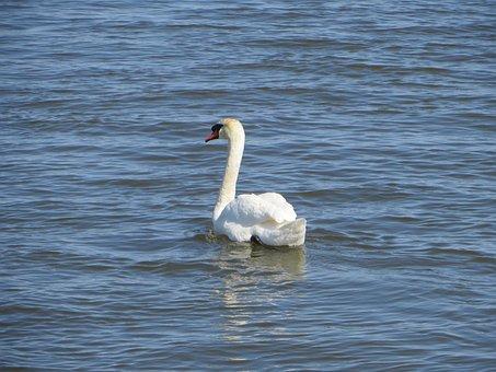 Swan, Bird, Canada, Port Credit