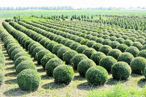 Buxus, Nursery, Tree Nursery, Bol, Bush, Prune, Around