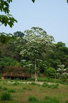 Tung Trees And Flowers, Flowering, White Flower