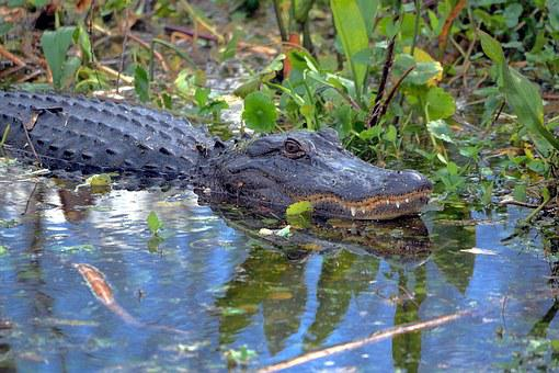 Alligator, Gator, Wildlife, Florida, Reptile, Animal
