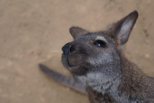 Wallaby, Animal, Wildlife, Australia, Marsupial, Mammal