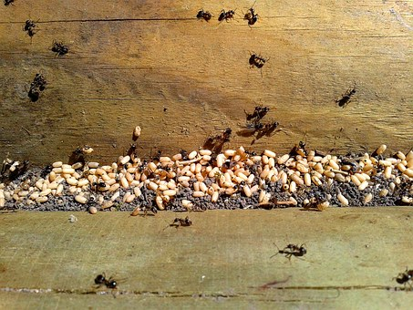 Ant, Ants, Eggs, Insect, Nature, Invasion