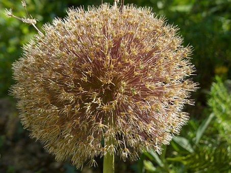 Allium Giganteum, Leek, Blossom, Bloom, Dry