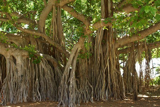 Banyan Tree, Honolulu, Hawaii, Brown Tree