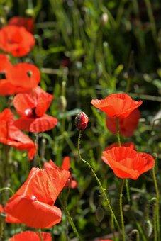 Poppies, Capsule, Red, Meadow