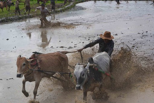 Pacu Jawi, Tradisional, Indonesia, Cattle, Cows, Pull