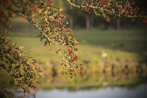 Crataegus, Autumn, Water, Landscape Fall