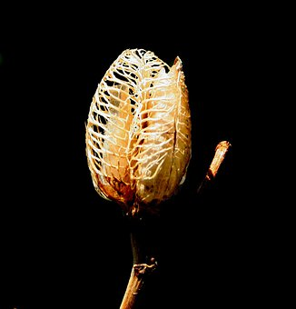 Daylily Seedpod, Loculicidal Capsule, Dried Fruit
