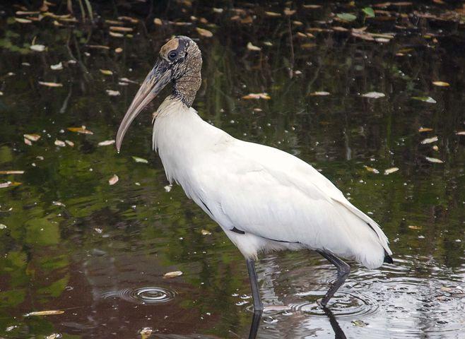 Wood, Stork, Endangered, Bird, Wildlife, Florida