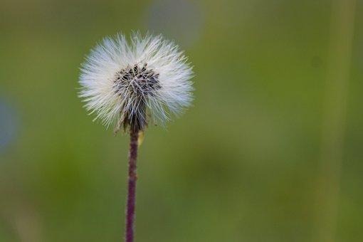 Dunboll, Flower, Nature, Green, Seedpod, Seed, Plant