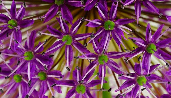 Ornamental Onion, Flower, Flowers, Plant, Close Up