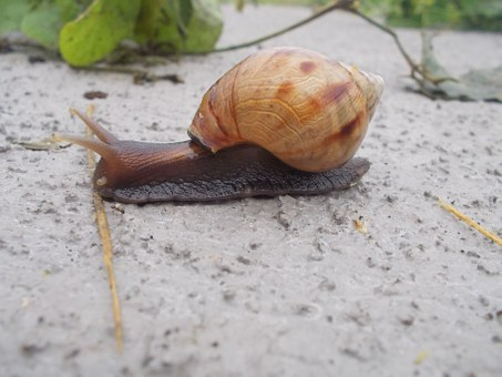 Snail, Achatina Fulica, Giant African Snail