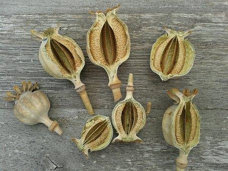 Poppy, Summer, Seedpods, Grey, Natural Colors, Natural
