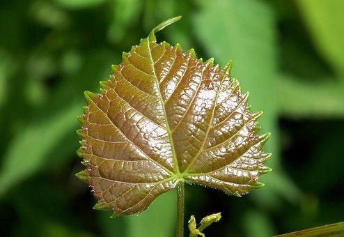 Leaf, New, Growth, Plants, Foliage, Glossy, Surface