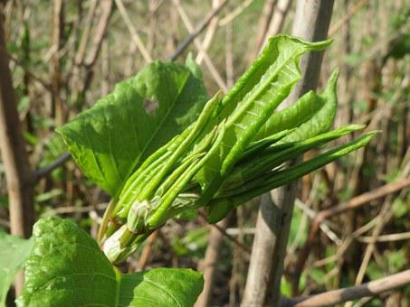 Fallopia Japonica, Japanese Knotweed, Flora