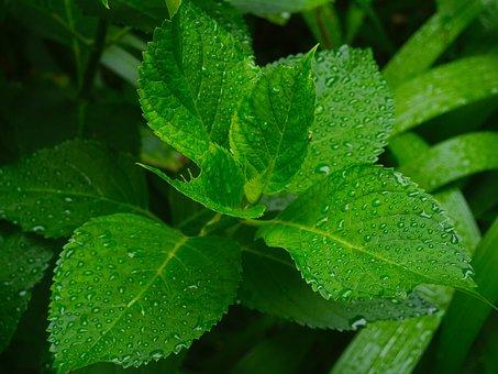 Hydrangea, Leaf, Branch, Green, Drop Of Water, Rain