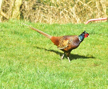 Pheasant, Bird, Feather, Plumage, Species, Colorful
