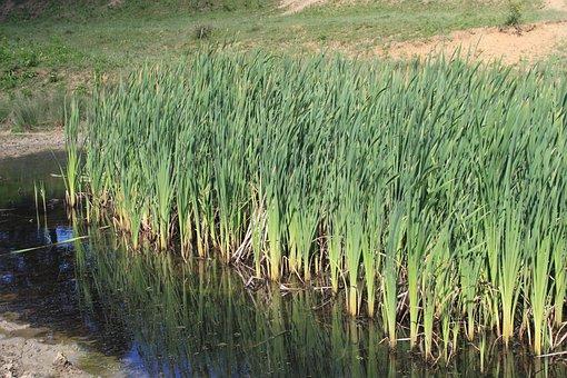 Bulrushes, Green, Invasive, Lake, Latifolia, Pond