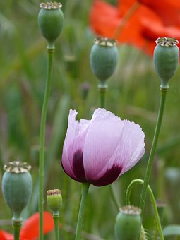 Papaver Somniferum, Gravel, Poppy, Ababol