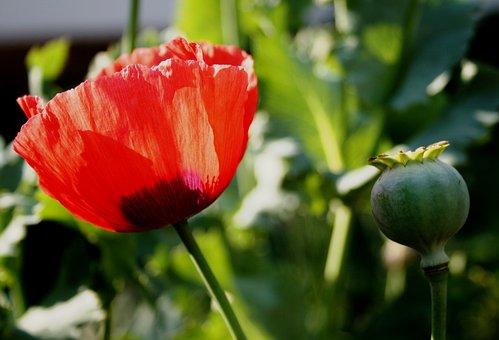 Poppy, Flower, Open, Red, Delicate, Seedpod, Sunlight