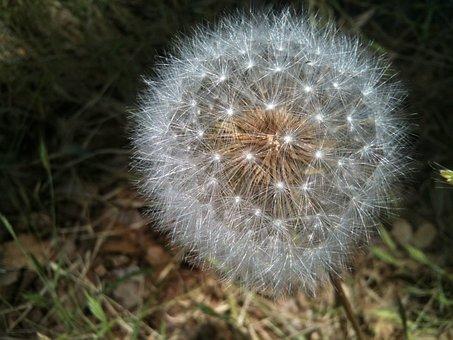 Dandelion, Seedpod, Intact