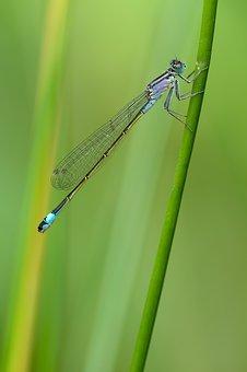 Slender Dragonfly, Dragonfly, Bad Luck Dragonfly