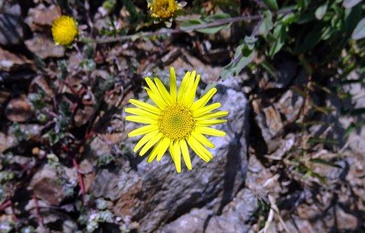 Flower, Yellow, Sontikli, Sonela, Pulicaria Wightiana