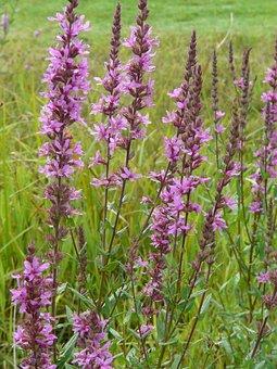 Purple Loosestrife, Flower, Flora, Plant, Summer