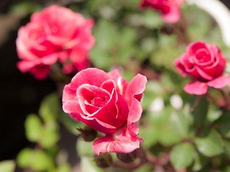 Flowers, Rose, Sunshine, Pink Flower, Miniature Roses