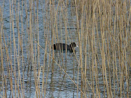 Coot, Fulica Atra, Swamp, Water, Pond, Hidden, Swim