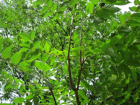 Ailanthus Altissima, Tree Of Heaven, Flora, Botany
