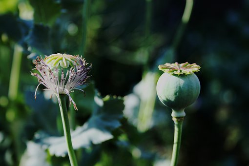 Poppy, Seedpod, Green, Remnant Of Bloom, Round, Veined