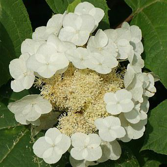 Oak Leaf Hydrangea, Hydrangea, Top-down, White, Flower