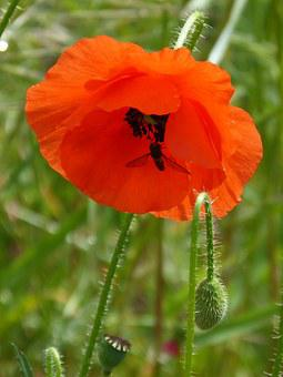 Poppy, Xanthogramma, Diptera, Flower, Syrphidae