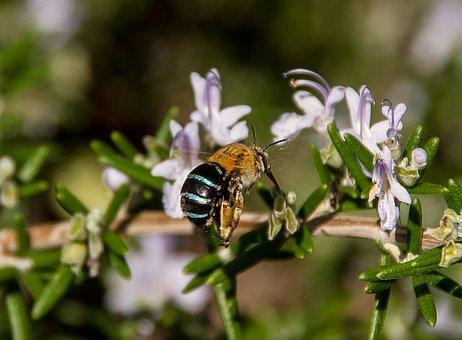 Blue-banded Bee, Bee, Amegilla Cingulata, Insect