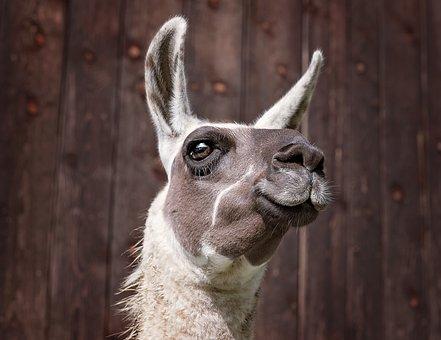 Lama, Camel, Mammals, Animal, Paarhufer, Brown White