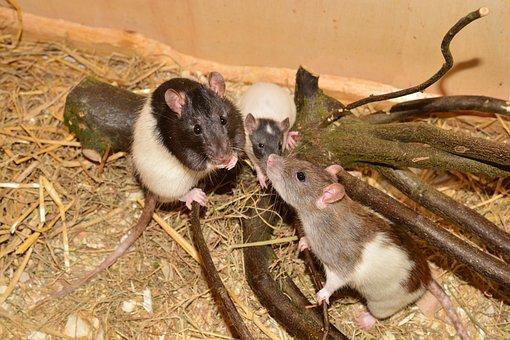 Rat, Animal, Rodent, Image, Color Rat