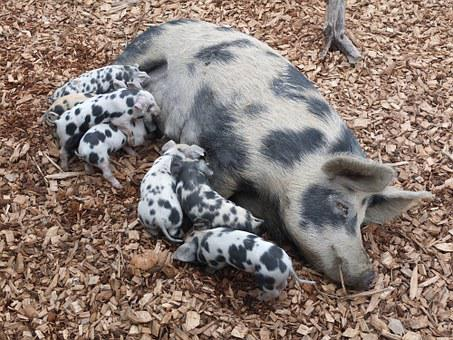 Pig, Piglet, Suckle, Farm, Animals, Sow, Breeding, Pet