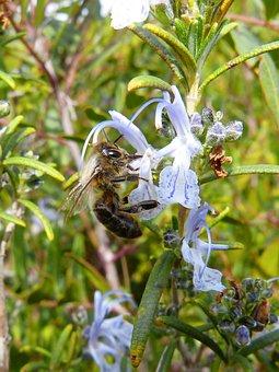 Bee, Libar, Rosemary, Rosemary Honey