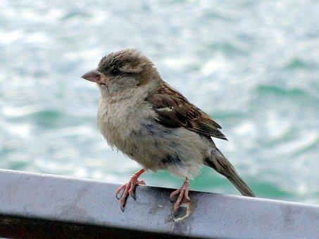 Bird, Sparrow, Sperling, Animal, Feather, Close