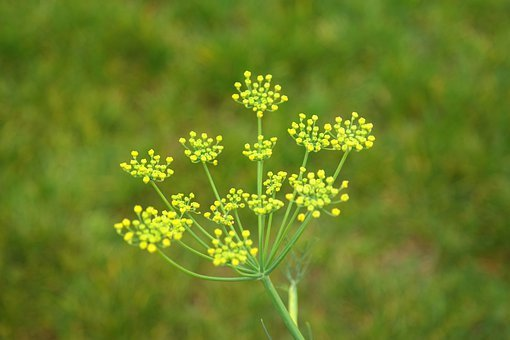 Fennel, Blossom, Bloom, Inflorescence, Yellow