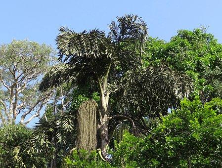 Fishtail Palm, Caryota Urens, Jaggery Palm