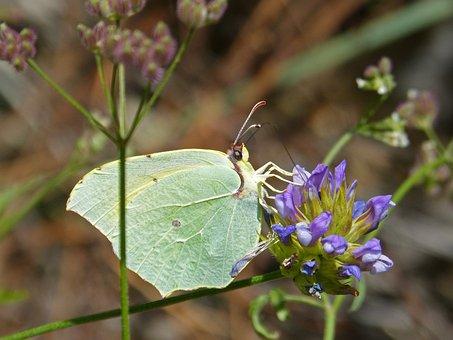 Butterfly, Colias Croceus, Safranera De L'alfals
