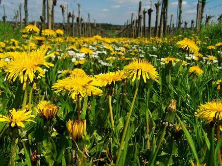 Dressing-gown Dandelion, Yellow Wildflower