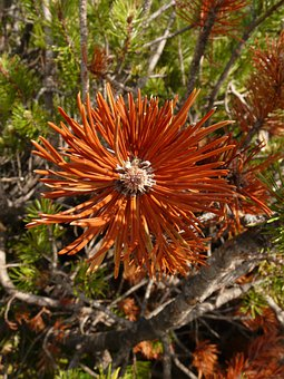 Mountain Pine, Needles, Arid, Dry, Brown, Pine Needles