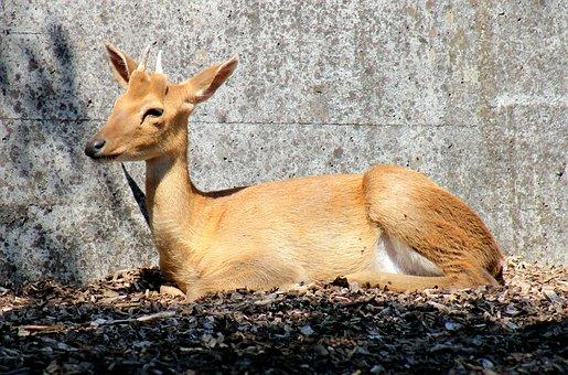 Eld's Deer, Hirsch, Paarhufer