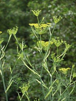 Fennel, Fennel Flower, Spice, Medicinal Herbs, Garden